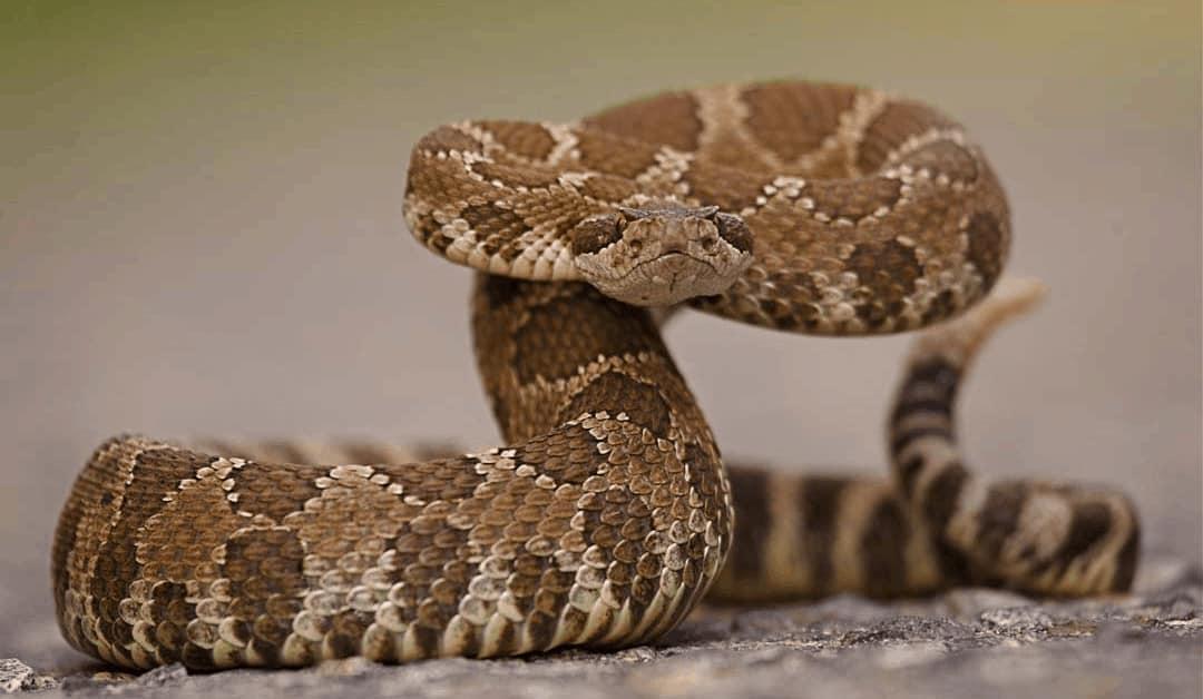 viperidae, rattlesnake ready to strike